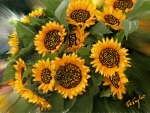 sunflower_pose